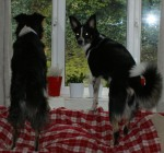 Both collies on cat patrol!