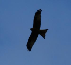 Red Kite in Rhydlewis