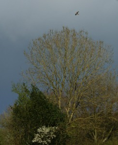 Red Kite against a rainy sky