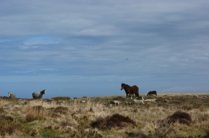 Ponies on the moor above Cwm Gwaun