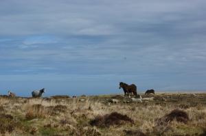 Ponies on the moor above Cwm Gwaun