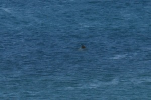 Grey seal  just off the beach