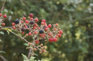 Bramble Berries