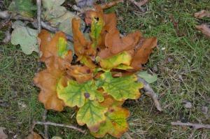 Russet Oak