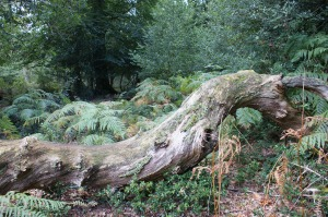 Fallen Forest Giant