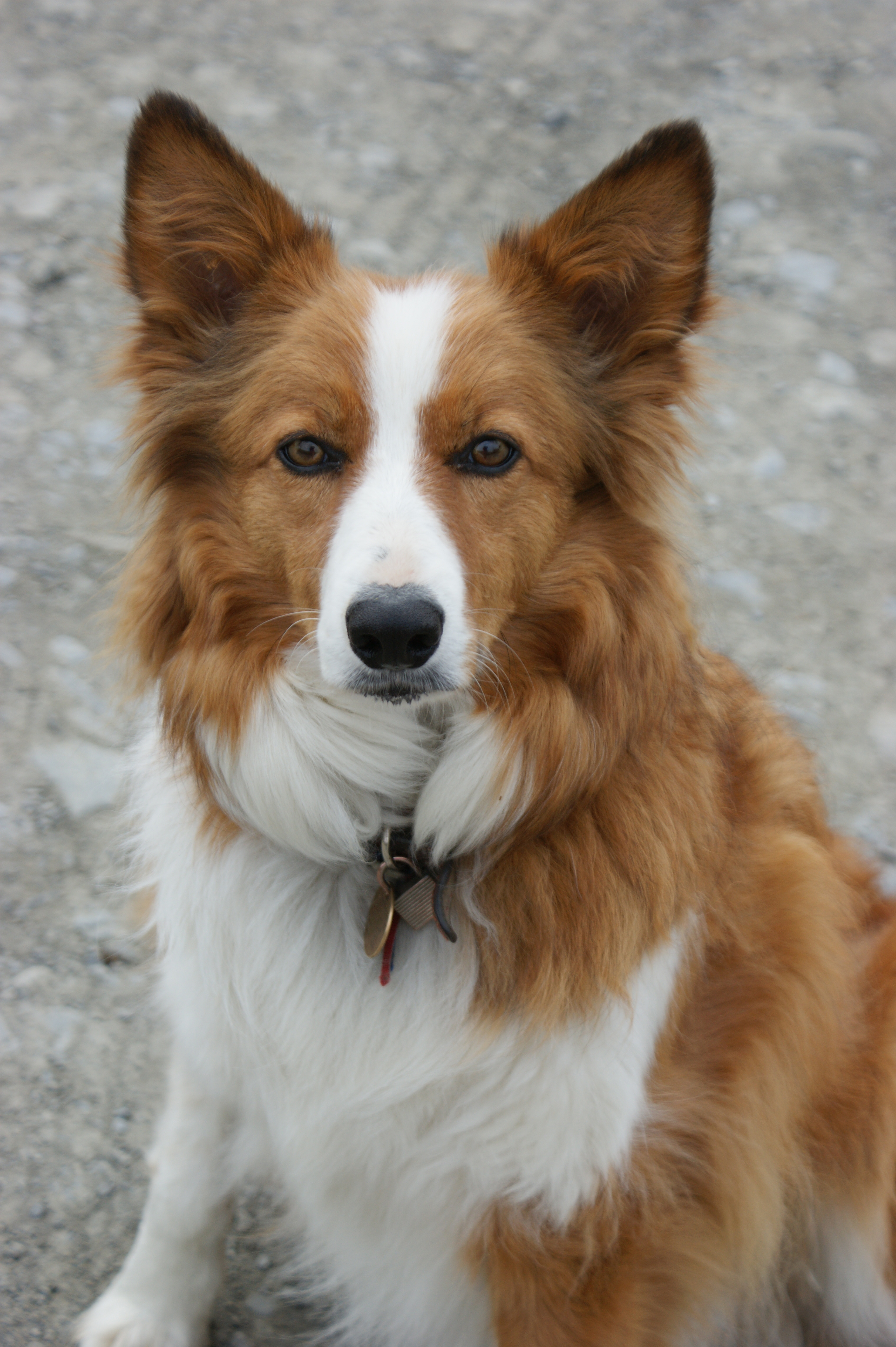 ... Welsh Sheepdog on Pinterest | Welsh sheepdog, Collie dog and Welsh