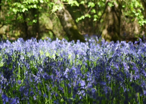 magical bluebells