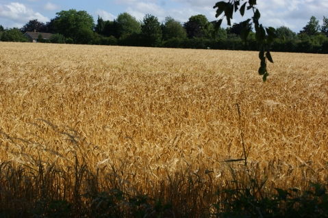 The wheat looks ready to harvest - next week and this field will be shorn and stubbly