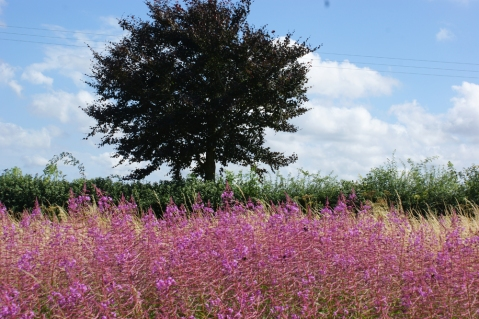 Rosebay Willow Herb grow alongside the footpath