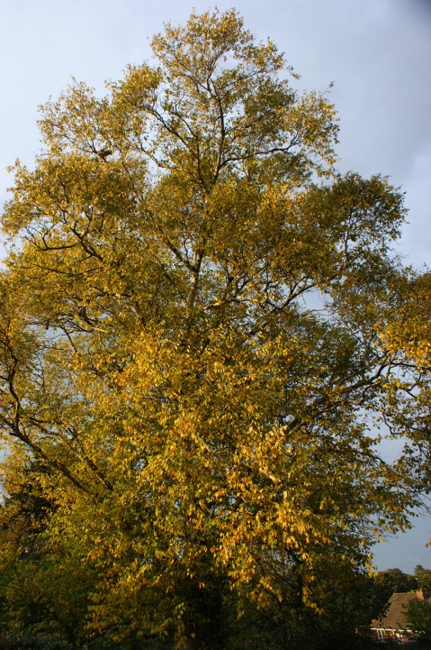 Our beloved White Birch, all golden in the Autumn light