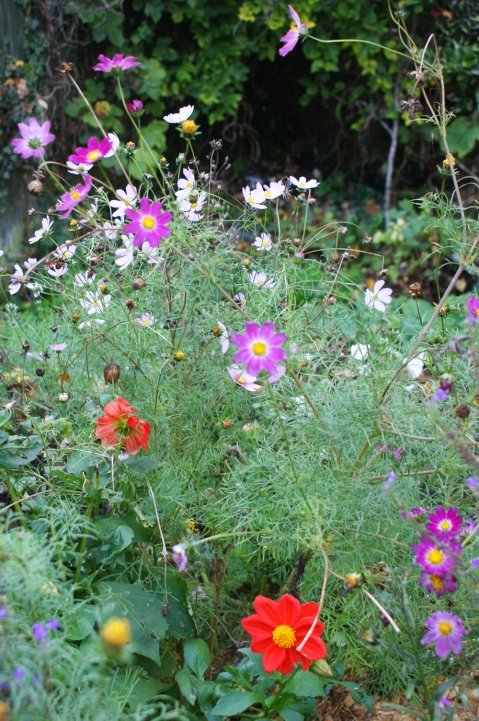 cosmos - now all bedraggled by the weekend wind and rain