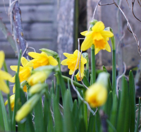 daffs in my garden, surviving the frost this morning
