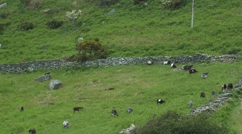wild goats scramble up the steepest rocks at the Valley of the Rocks