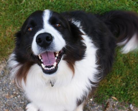 Merlin - the farm sheepdog