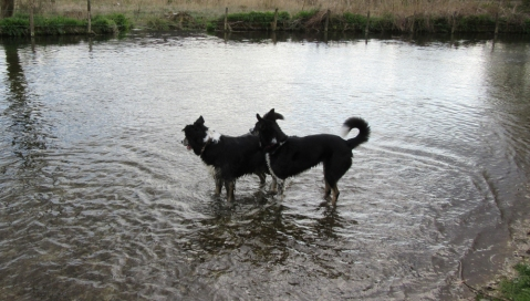 paddling collies
