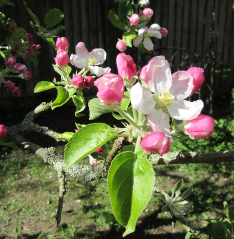 apple blossom 7
