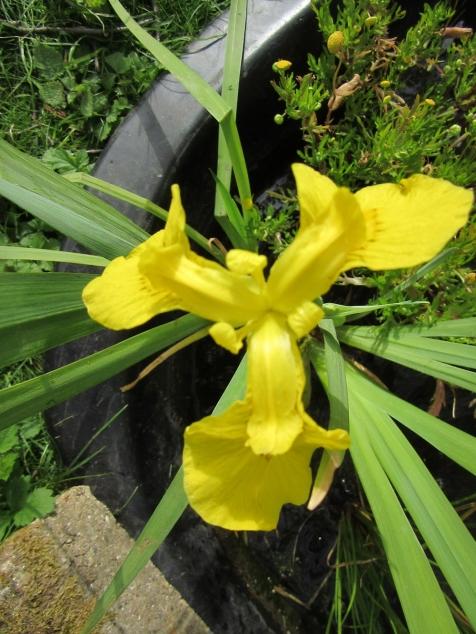 may yellow iris