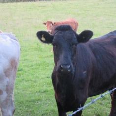 cows10