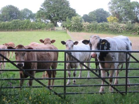 cows12