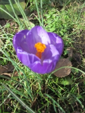 mar-crocus
