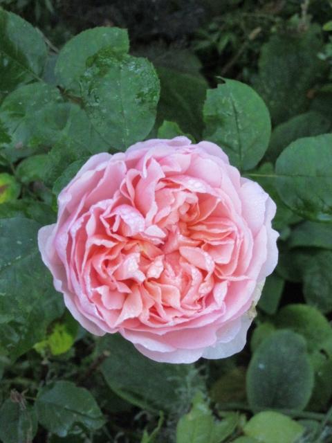 nov - rose